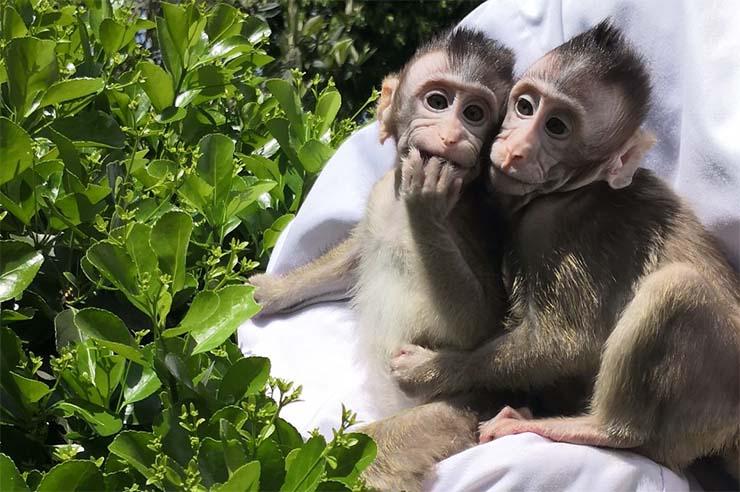 """planeta simios monos - Comienza """"El planeta de los simios"""": Científicos chinos inyectan genes cerebrales humanos en monos"""