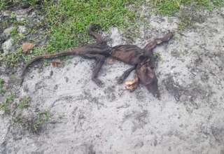 florida criatura mutante 320x220 - Unamujer de Florida encuentra el cadáver de una criatura mutante en su propiedad