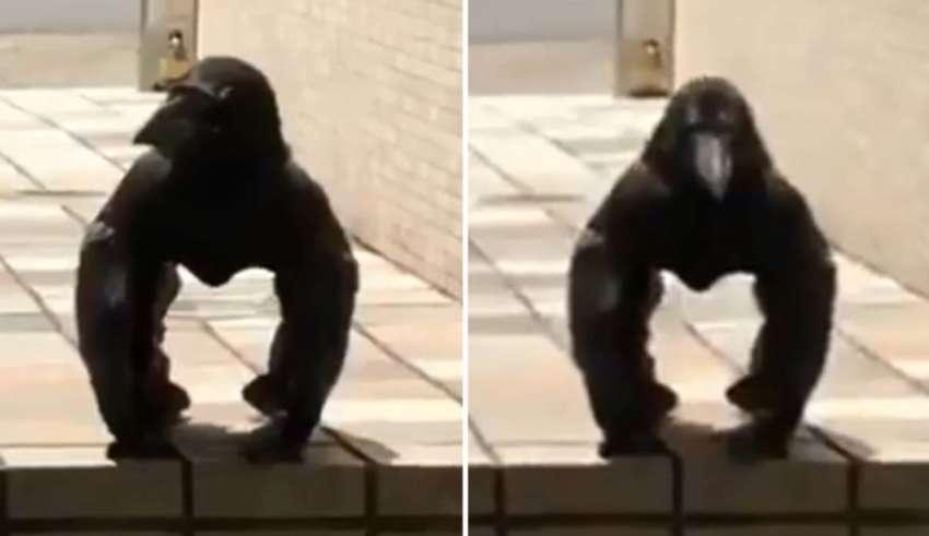 criatura mitad cuervo mitad gorila 850x491 - Graban en Japón una extraña criatura mitad cuervo mitad gorila
