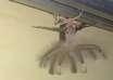 criatura alada extraterrestre 104x74 - Un hombre encuentra una extraña criatura alada extraterrestre en el techo de su casa en Indonesia