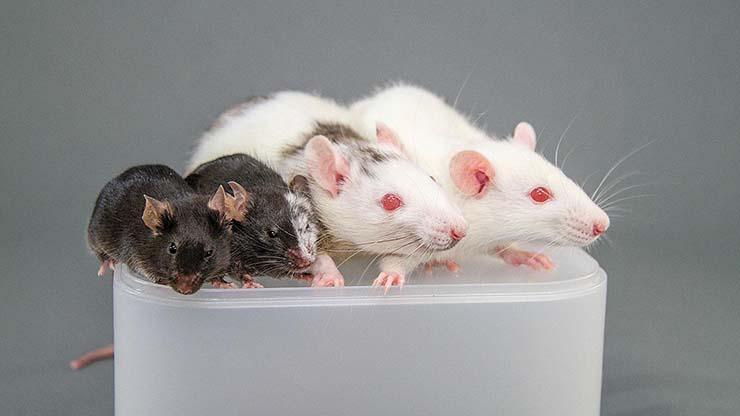 isla del doctor moreau - 'La isla del doctor Moreau' se hace realidad: Se están creando ratas humanas en Japón y monos humanos en China
