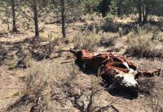 toros mutilados 320x220 - Pánico en Oregón por la misteriosa muerte de toros mutilados y drenados de forma quirúrgica