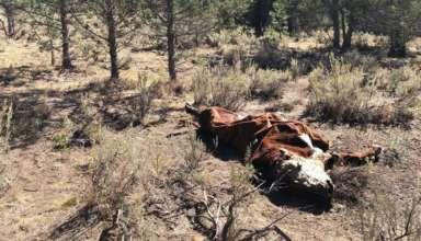 toros mutilados 384x220 - Pánico en Oregón por la misteriosa muerte de toros mutilados y drenados de forma quirúrgica