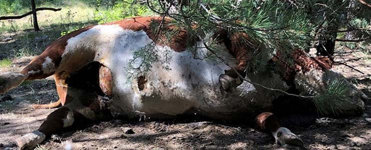 toros mutilados drenados - Pánico en Oregón por la misteriosa muerte de toros mutilados y drenados de forma quirúrgica