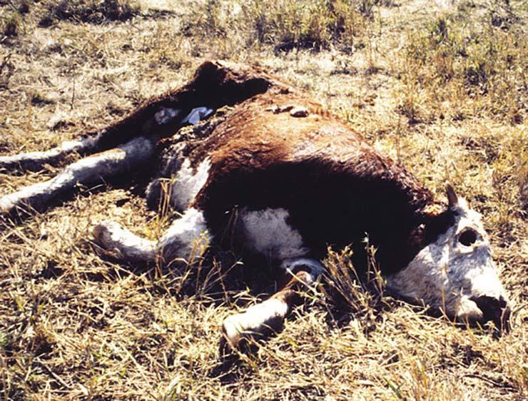 toros mutilados y drenados - Pánico en Oregón por la misteriosa muerte de toros mutilados y drenados de forma quirúrgica