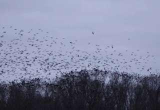 bandadas cuervos china 320x220 - Inusuales bandadas de cuervos y enormes mosquitos invaden China, ¿están relacionados con el coronavirus de Wuhan?