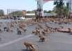 coronavirus animales 104x74 - El coronavirus está causando extraños comportamientos de animales en todo el mundo