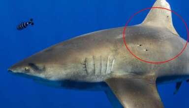 enorme tiburon calamar gigante 384x220 - El kraken existe: Fotografían un enorme tiburón que muestra cicatrices del ataque de un calamar gigante