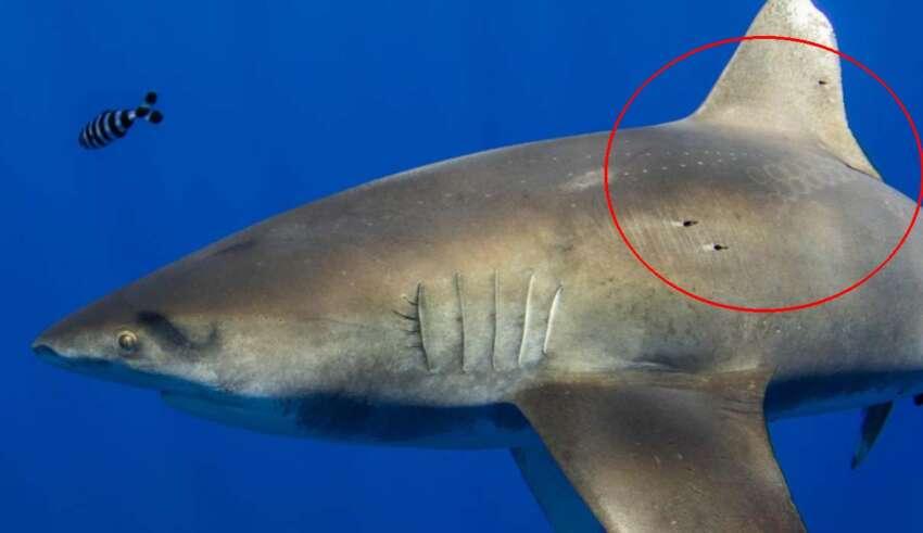 enorme tiburon calamar gigante 850x491 - El kraken existe: Fotografían un enorme tiburón que muestra cicatrices del ataque de un calamar gigante