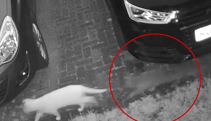 gato fantasmal siguiendo amigo felino - Cámara de seguridad muestra un gato fantasmal que acababa de fallecer siguiendo a su amigo felino