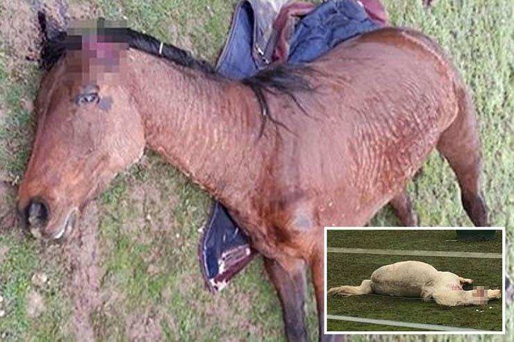 inexplicable mutilacion caballos francia - Pánico en Francia por la inexplicable mutilación de decenas de caballos
