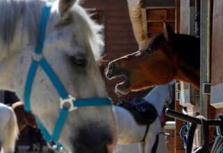 mutilacion de caballos francia 320x220 - Pánico en Francia por la inexplicable mutilación de decenas de caballos
