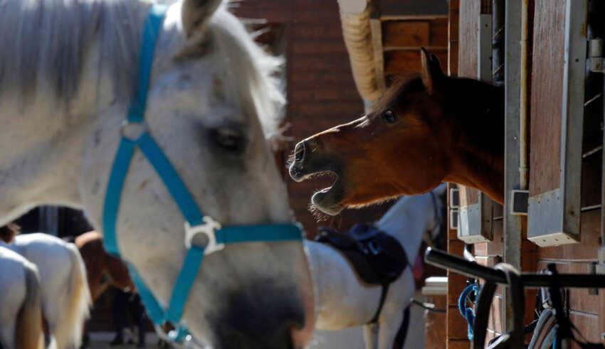 mutilacion de caballos francia 850x491 - Pánico en Francia por la inexplicable mutilación de decenas de caballos