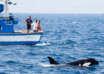 orcas barcos 104x74 - Las orcas están atacando brutalmente a barcos en España y mutilando a los tiburones blancos, ¿qué está pasando?