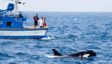 orcas barcos 384x220 - Las orcas están atacando brutalmente a barcos en España y mutilando a los tiburones blancos, ¿qué está pasando?