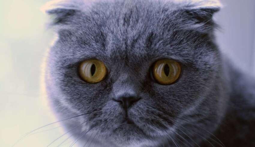 gato cumple deseos 850x491 - Venden un gato por más de 100.000 euros que hace milagros y cumple deseos