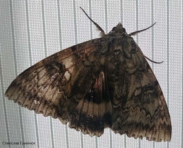 mariposa mutante de chernobil - Encuentran una mariposa mutante en la zona de exclusión de Chernóbil