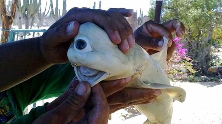 tiburon mutante ojo - Capturan en Indonesia un tiburón mutante con un solo ojo