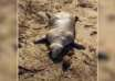 aberrante criatura playa griega 104x74 - Aparece una aberrante criatura muerta en una playa griega tras una tormenta