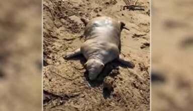 aberrante criatura playa griega 384x220 - Aparece una aberrante criatura muerta en una playa griega tras una tormenta