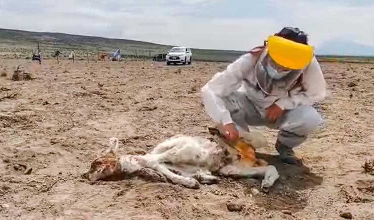 chile ataque de misteriosa criatura - Alarma en Chile por el ataque de una misteriosa criatura que ha drenado la sangre de más de 50 animales
