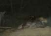chile ataque misteriosa criatura 104x74 - Alarma en Chile por el ataque de una misteriosa criatura que ha drenado la sangre de más de 50 animales