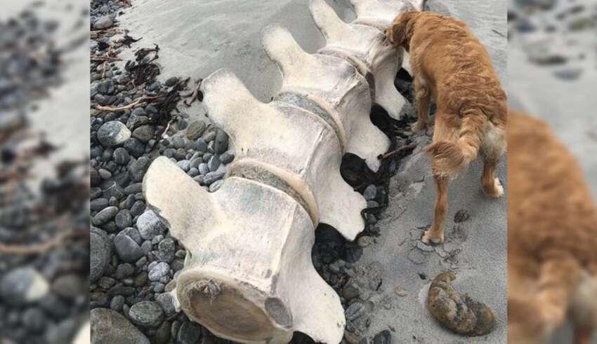 misteriosa criatura escocia 850x491 - Descubren los restos de una gigantesca y misteriosa criatura en una playa de Escocia