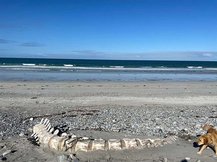 misteriosa criatura playa escocia - Descubren los restos de una gigantesca y misteriosa criatura en una playa de Escocia