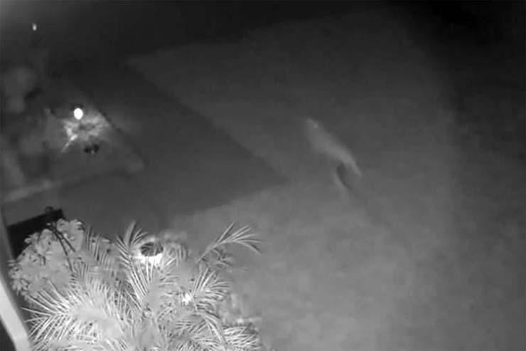 velociraptor casa florida - Cámara de seguridad graba una cría de velociraptor en una casa de Florida